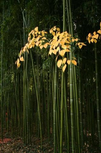 erable-et-bambou.jpg