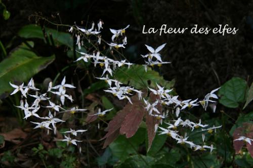 11 fleur de elfes copie.jpg