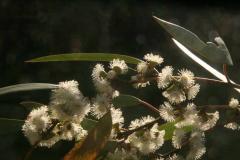 eucalyptus-2.jpg