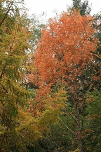 metasquoia.jpg